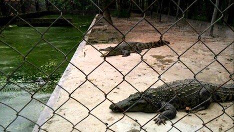 Крокодиловая ферма на Фукуоке