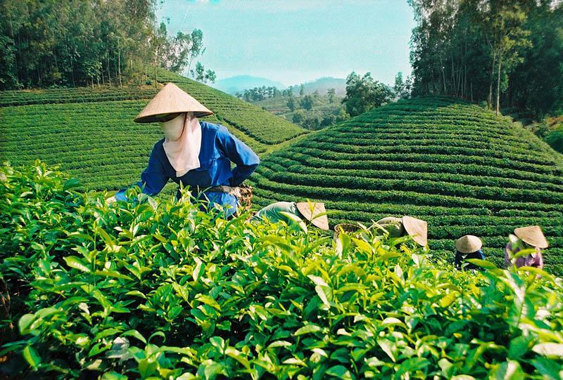 Плантация чая во Вьетнаме